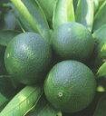 柑橘類 スダチ 2年生苗