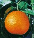 宮川早生温州とオレンジを親にもつ清見オレンジ(きよみおれんじ・みかん類)