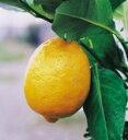 一番代表的な品種の多収量系リスボンレモン(石田系)(りすぼんれもん(いしだけい))・みか...
