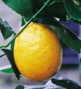 リスボンレモンより一回り大きいレモンクックユーレカレモン(くっくゆーれかれもん・みかん類)