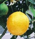 初生りまでの期間が短く、多収量のレモン四季なりレモン(しきなりれもん・みかん類)