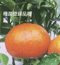 デコポンに変わる品種として評判は最高柑橘類 麗紅(れいこう) 2年生苗