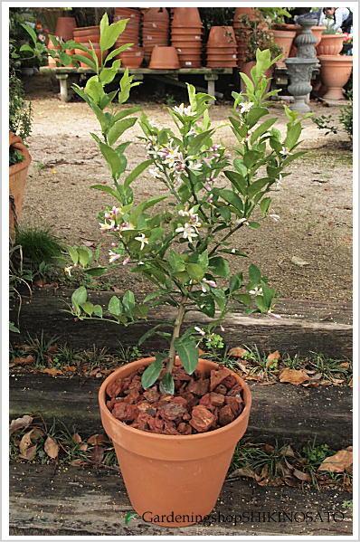 当店人気!レモンの木鉢植え(素焼き鉢) 人気のガーデニング果樹