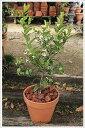 当店人気!レモンの木鉢植え(素焼き鉢)