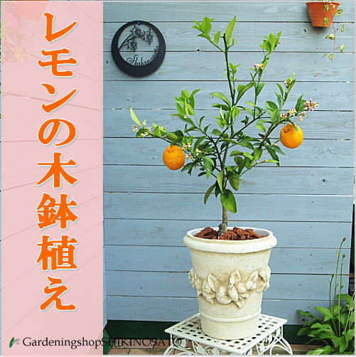 当店人気!レモンの木鉢植え(アンティーク鉢、丸) ギフトに人気のガーデニング果樹