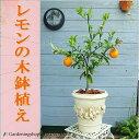 当店人気!レモンの木鉢植え(アンティーク鉢、丸)