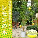 『販売開始しました!』◆数量限定大きめサイズ◆レモンの木(樹高:1.0m内外)【マイヤーレモン】【収