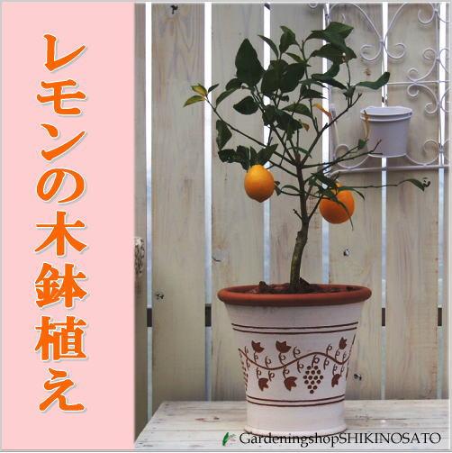 レモンの木鉢植え(焼鉢・グレープ柄) 人気のガーデニング果樹