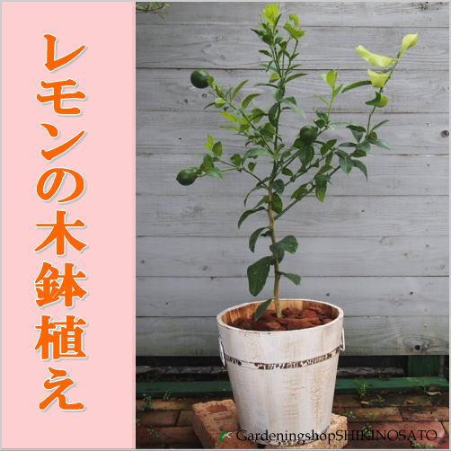レモンの木鉢植え(ウッド鉢・白) 人気のガーデニング果樹!!
