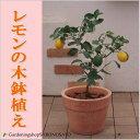 【送料無料】レモンの木鉢植え/レモン/檸檬(テラコッタ/ウェルカム鉢)