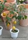 【送料無料】花芽つき!レモンの木