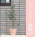 【送料無料】ジューンベリー/ジュンベリーの鉢植えテラコッタ鉢(全体高さ:1m内外)