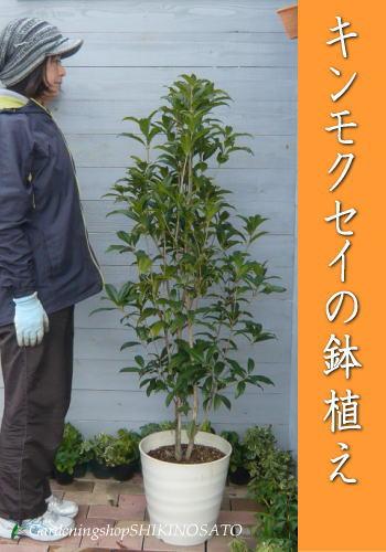 キンモクセイの鉢植え(樹高:約1.2m)(全長:1.5m)