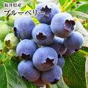 福井県産生食用ブルーベリー約1Kg化粧箱【送料無料クール便】