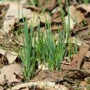 (2ポット)アサツキ 9cmポット苗2ポットセット 山菜苗/耐寒性多年草/浅葱