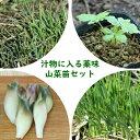 山菜苗セット: プランター栽培も可能!汁物に入る薬味山菜苗 各2ポットセット