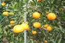 愛媛丹原産 佐伯さんの稀少柑橘 甘平 約2.5kg(8玉前後)【発送2月10日頃〜2月20日頃】