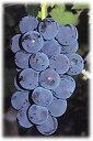 長野県産 大粒 ぶどう 種無し 低農薬 有機肥料栽培 巨峰 約2kg(一般の2.5P位)★「夜間瀬の果物には勝てない!」と果物王国長野では定評【発送時期 9月~11月】