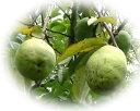 【2016年ご予約受付中】夜間瀬の果物には勝てない!と果物王国長野では定評夜間瀬のかりん約3kg(約