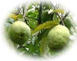 夜間瀬の果物には勝てない! と果物王国長野では定評天然かりん 約3kg(約6〜8個)【発送10月〜2月】05P08Feb15