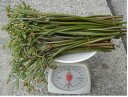 ご注文があってから採ります紀伊山脈の朝採り 天然生わらび500g【発送 3月下旬 〜 4月中旬】