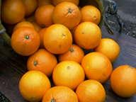 農薬一切不使用 有機肥料のみ ノーワックス 静岡 産地直送 伊東 川合農園のネーブル 約5kg (約18〜22個)※ご家庭用です【発送期間:1月〜3月頃】