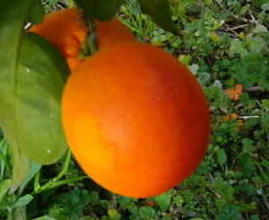 アントシアニン ブラッド オレンジ