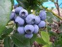 岩手県遠野の農薬不使用【わけあり】ブルーベリー約1kg※生(期間限定)か冷凍(通年)かをお選びください。