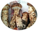 【送料無料】北三陸・岩泉の松茸(つぼみ)上 1kg(8〜15cm)【発送期間9月10日ごろ〜10月20日ごろ】