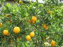 森さんの バレンシアオレンジ 10kg(約60〜80個)【発送6月上旬〜中旬】