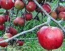 【わけあり】伊那・白鳥さんのりんご 10kg (品種はお任せ)【発送10月初〜12月10日ごろ】