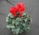 【送料無料】春まで咲き続ける高品質!シクラメン 「赤」5号鉢(株の立ち数 10本以上)