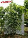 イロハモミジ 株立 2.3m-2.5m程度(根鉢含まず)