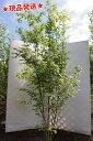イロハモミジ 株立 2.1m-2.4m程度(根鉢含まず)