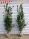 イロハモミジ 株立 2.5m〜2.7m程度(根鉢含まず) 落葉樹 庭木 シンボルツリー