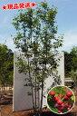 ジューンベリー ラマルキー 株立 2.0m程度(根鉢含まず) 落葉樹 庭木 シンボルツリー