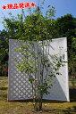 ジューンベリー ラマルキー 株立 1.8m〜2.0m程度(根鉢含まず) 落葉樹 庭木 シンボルツリー