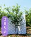 【6ヵ月枯れ保証付】【現品発送】ジューンベリーラマルキー株立ち 2.7m程度(根鉢含まず)シンボルツリー