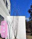 【不在置きOK限定販売価格】ジューンベリー ラマルキー 株立 2.0−2.1m程度(根鉢含まず) 落葉樹 庭木 シンボルツリー