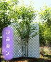【6ヵ月枯れ保証付】【現品発送】ジューンベリーラマルキー株立ち 2.2〜2.5m程度(根鉢含まず)シンボルツリー