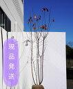 【6ヵ月枯れ保証付】【現品発送】ジューンベリーラマルキー株立ち 2.0〜2.5m程度(根鉢含まず)シンボルツリー