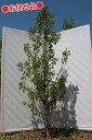 【お任せ品】ソヨゴ メス 単木1.8〜2.0m程度(根鉢含まず)