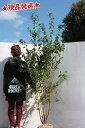 ソヨゴ メス 株立 2.0m-2.5m程度(根鉢含まず) 常緑樹 シンボルツリー 庭木