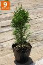 【9ポットセット】「エメラルド」樹高0.3m〜程度ポット直径15cm