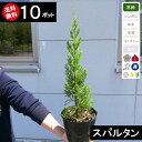 【送料無料】【10本】コニファー スパルタン 樹高30cm程度〜 ポット直径15cm
