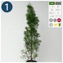 1本 /グリーンコーン 樹高80cm程度 ポット直径21cm コニファー