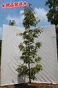 【特大】常緑ヤマボウシ「ホンコンエンシス」単木 2.9m-3.2m程度
