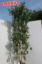 常緑ヤマボウシ「ホンコンエンシス」本株立1.9〜2.1m(根鉢含まず)