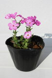 【1ポット〜】芝桜 綺麗なピンク「ダニエルクッション」 ポット直径9cm