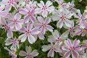 【送料無料】芝桜(シバザクラ)「タマノナガレ(多摩の流れ)」 40個 ポット直径9cm